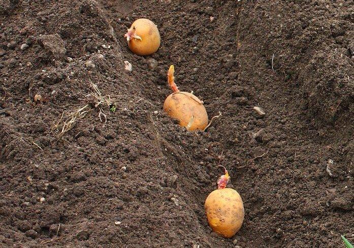 Картошка когда сажают 957