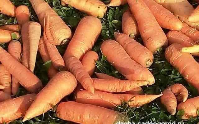 Лучшие озимые сорта моркови: посадка и уход